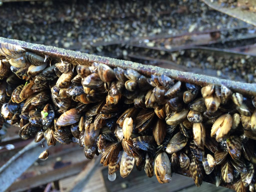 Mussel clipart bee  Zebra Mussels UWMadScience of