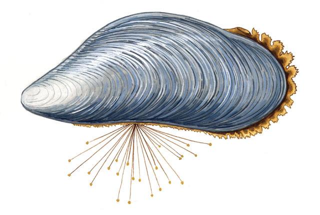 Mussel clipart capable Mytilus INFORMATION ADW:  edulis: