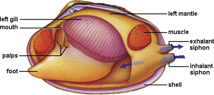 Mussel clipart labeled More The incurrent clam ventral