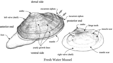 Mussel clipart labeled Hawaii of Study University Manoa