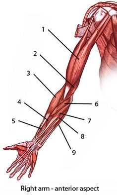Mussel clipart right arm Limb front view Pedagogy anterior
