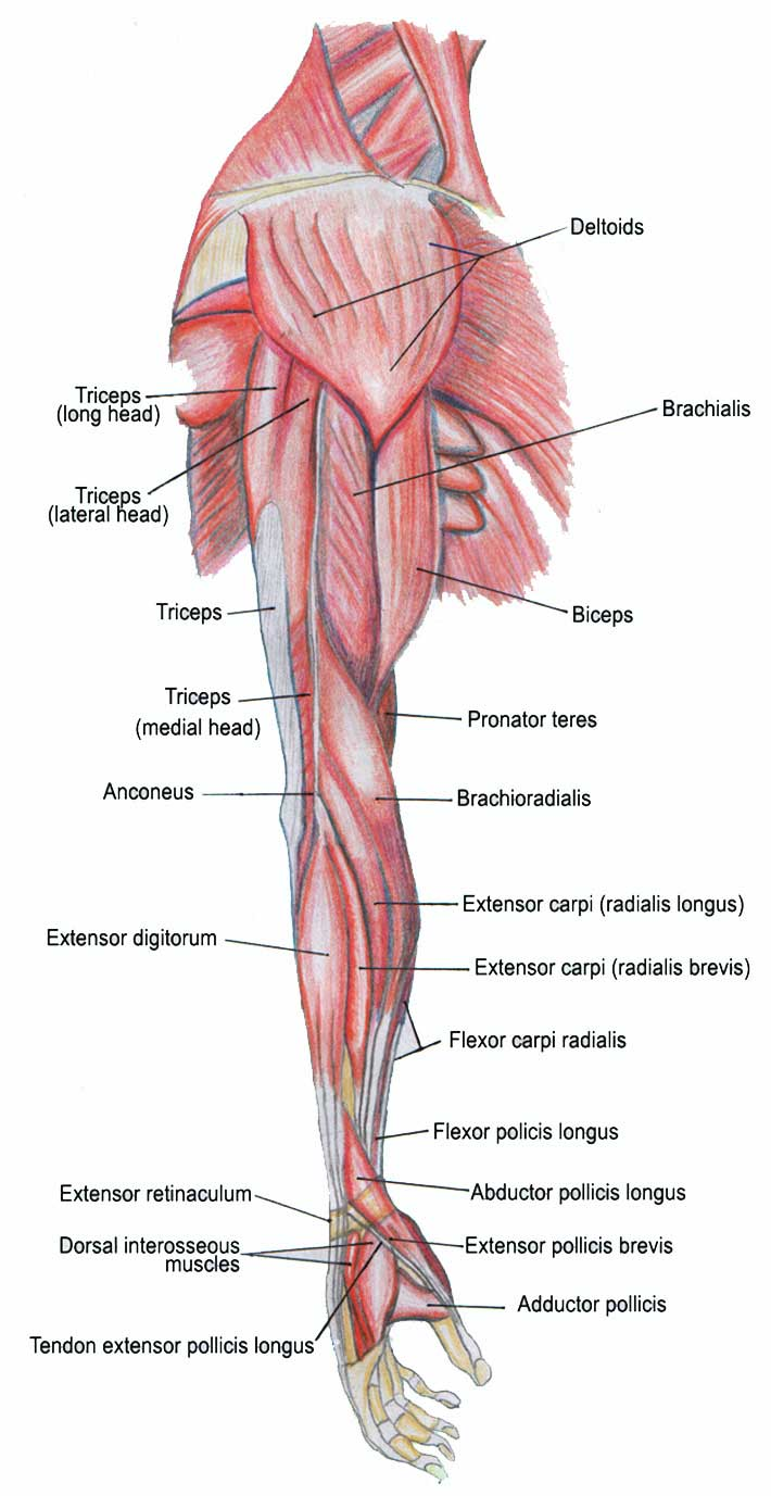 Mussel clipart right arm Human Anatomy 23 Anatomy Page