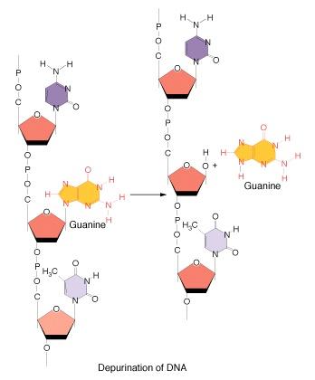 Mutant clipart spontaneous – Khan Depurination Biotech depurination
