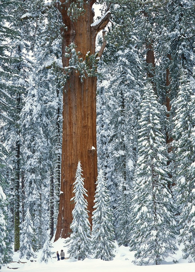 National Park clipart winter forest A Tree california Sherman forest