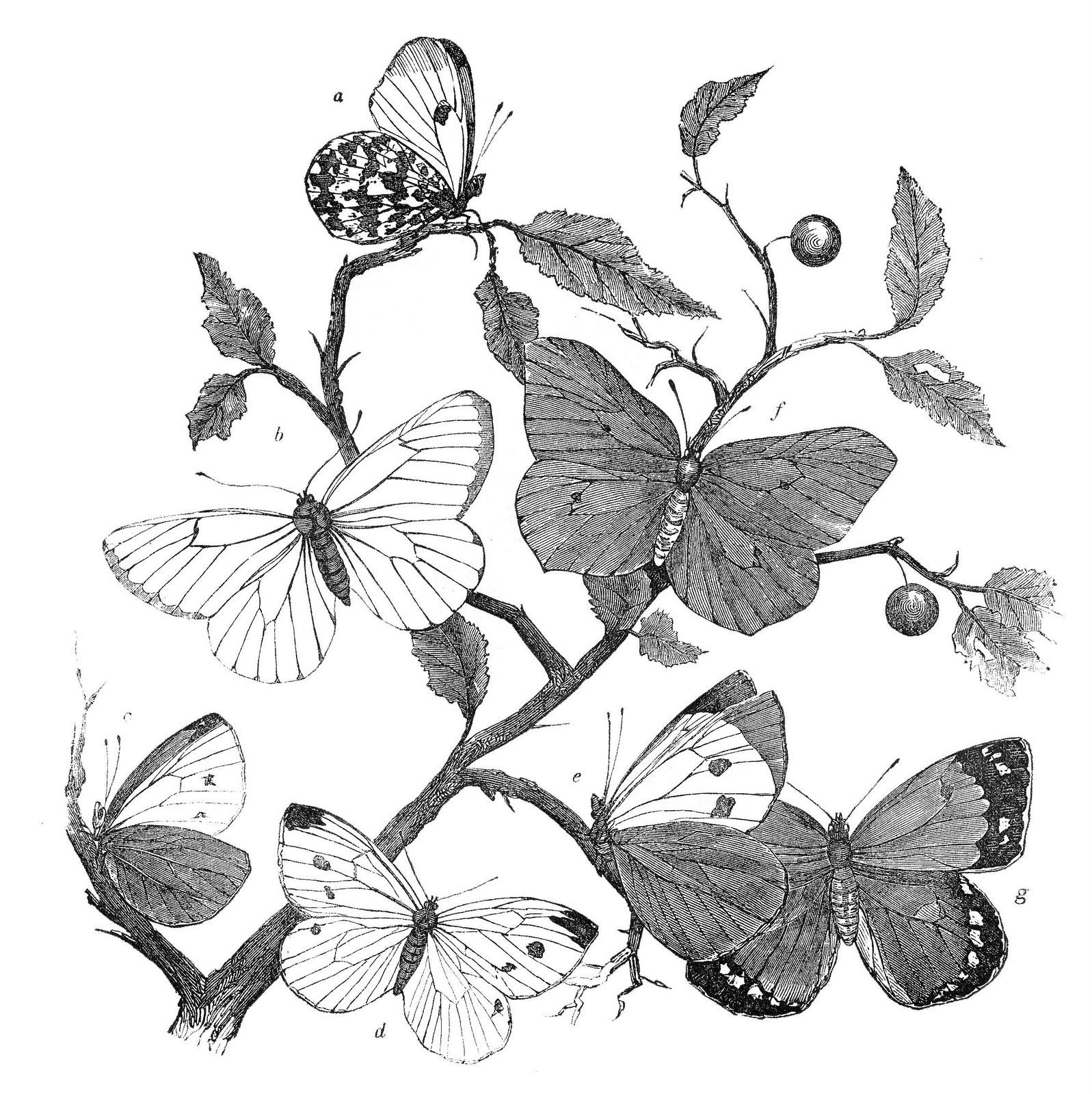 Moth clipart antique Clip History Antique Branches Clip