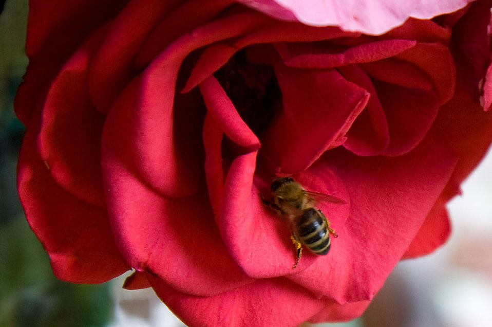 Nectar clipart red rose A Free bee Red :