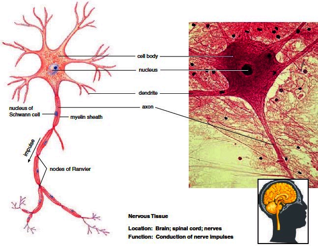 Nerves clipart human cell Envelope are such Neurons cells