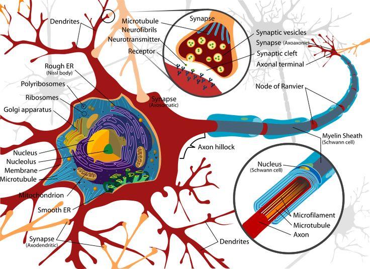 Nerves clipart human cell Ideas & Best cell Neurons
