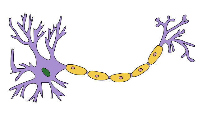 Nerves clipart nerve cell Shown BrainFacts neuron yellow Myelin: