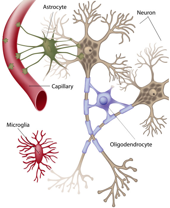 Nerves clipart nerve cell Nervous of Anatomy and the