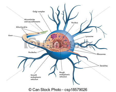 Nerves clipart nerve cell – Cell Download Clip Art
