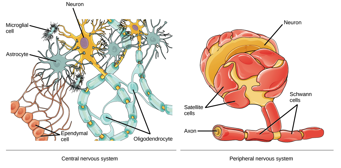 Neuron clipart nervous system Extend Left onto and of
