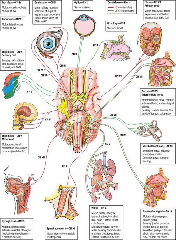 Anatomy clipart neurology #2