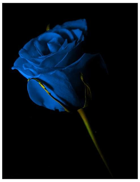Netherlands clipart blue rose Image Blue Rose And For