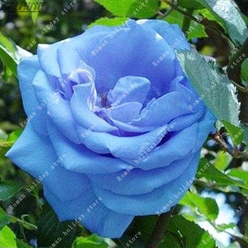 Netherlands clipart blue rose Flower In rose Wholesalers Lover