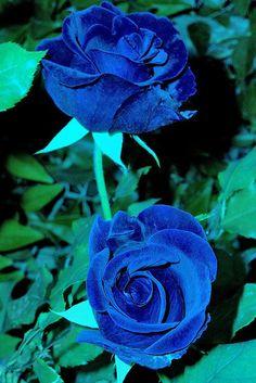 Netherlands clipart blue rose Velvet Rose And Dark blue