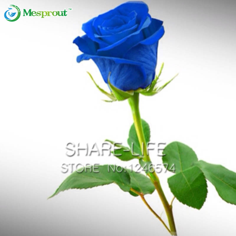 Netherlands clipart blue rose Plants Buy from  Blue