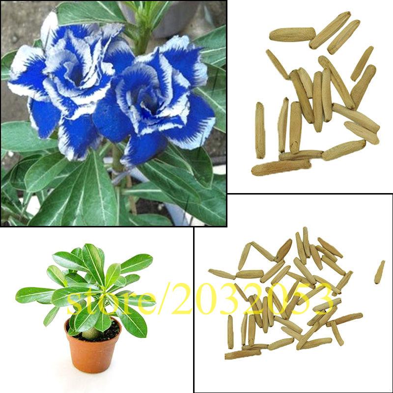 Blue Rose clipart side Wholesale plant blue rose Obesum