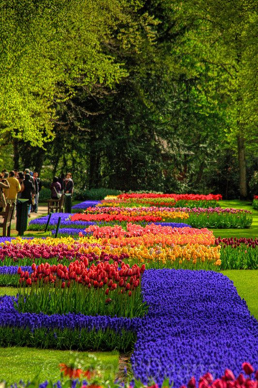 Netherlands clipart tulip garden Is amsterdam hometown Best Tulip
