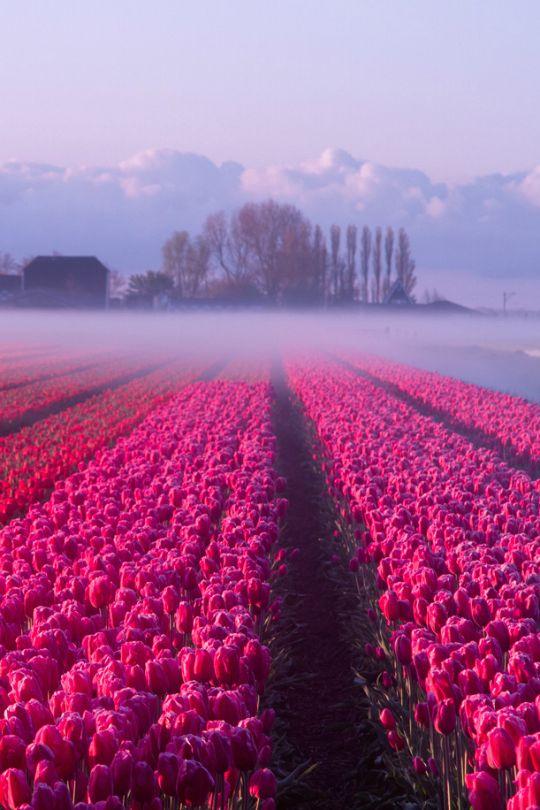 Netherlands clipart tulip garden On Tulip tulip 20+ in