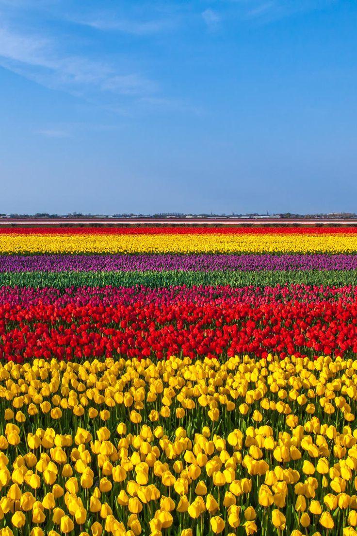 Netherlands clipart tulip garden Ideas garden Pinterest Field Tulip