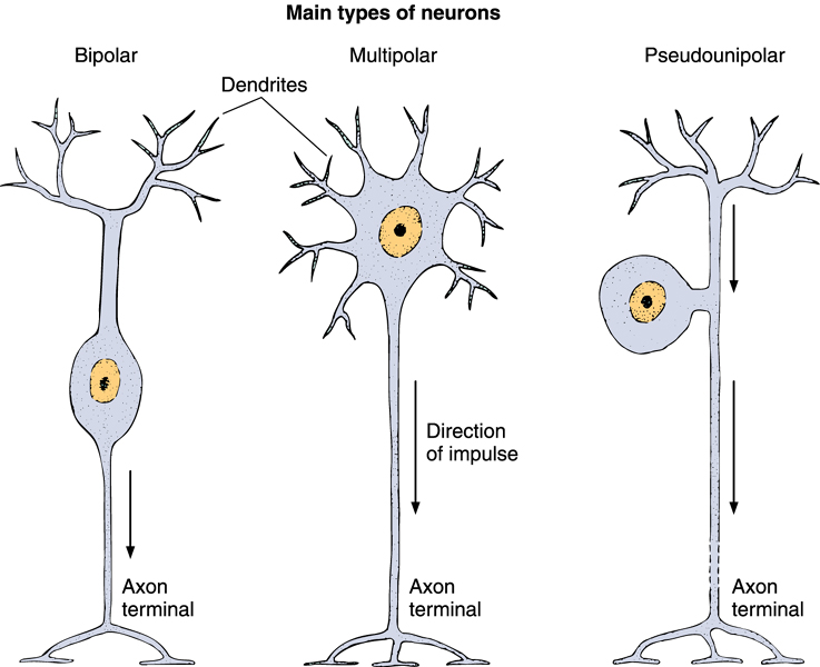 Neuron clipart bipolar His14 Multipolar 1) neurons