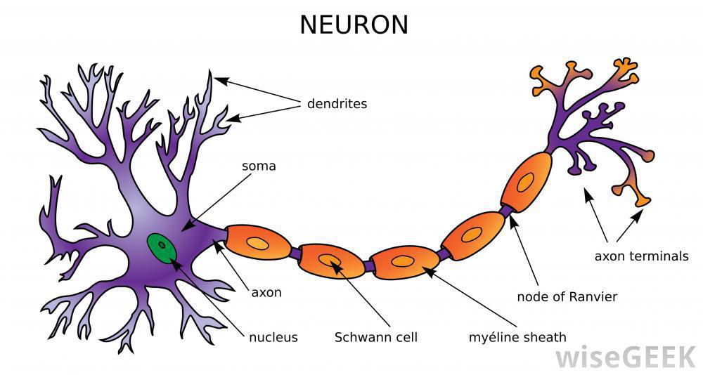 Neuron clipart dentrites TQA explorer nervous 0398)