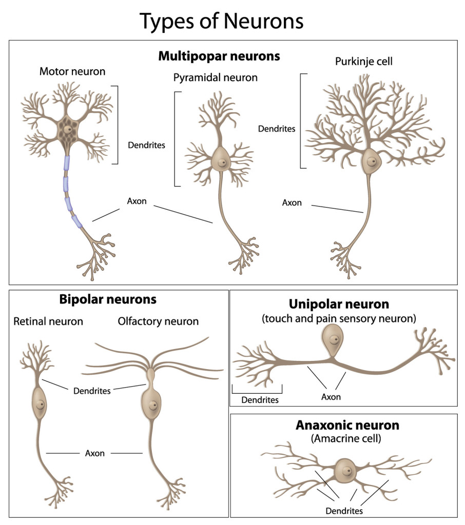Neuron clipart dentrites And Classification  The Structure