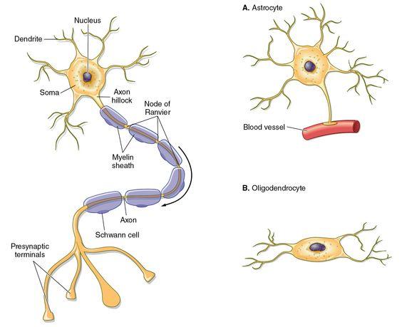 Neuron clipart dentrites The glial of glial and