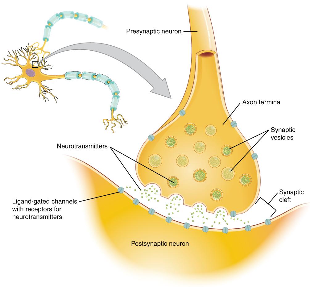 Neuron clipart dentrites An Between axon presynaptic with