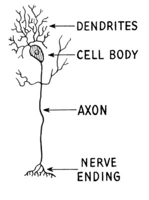 Neuron clipart dentrites New World of Dendrite Structural