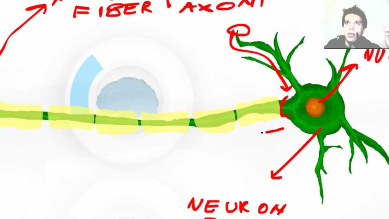 Neuron clipart dentrites And YouTube Anatomy and and