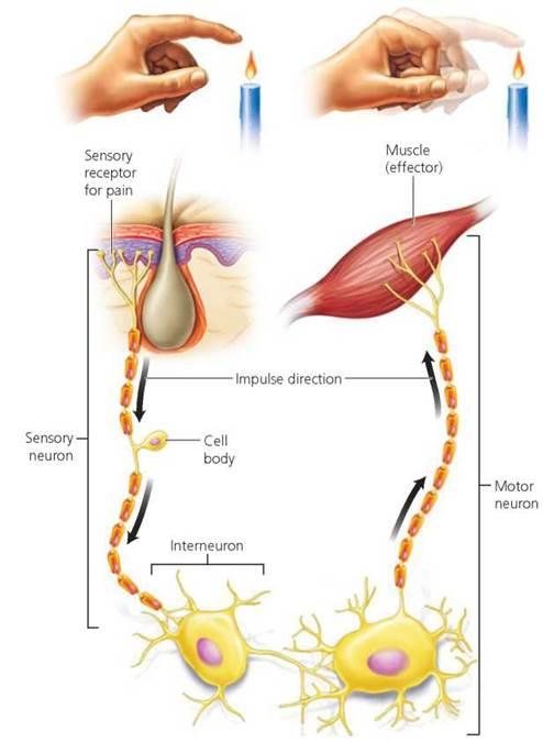 Mussel clipart neuron #1