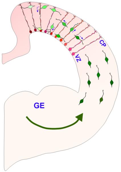 Neuron clipart interneuron Eminence Ganglionic Wikipedia