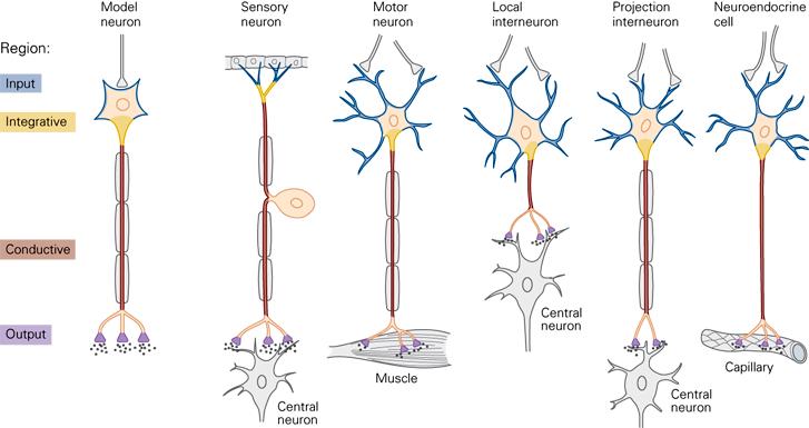 Neuron clipart interneuron Not of Principles Cells Neural