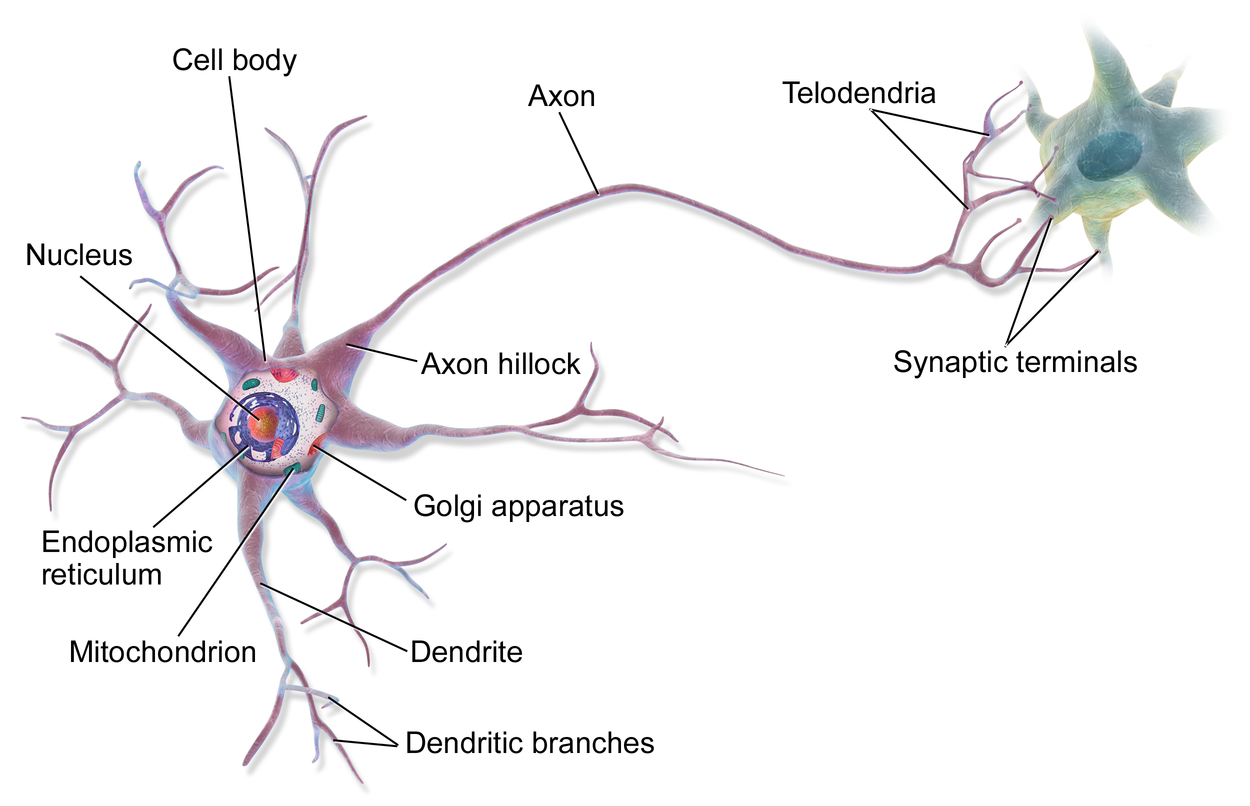 Neuron clipart labeled  Neuron Wikiwand