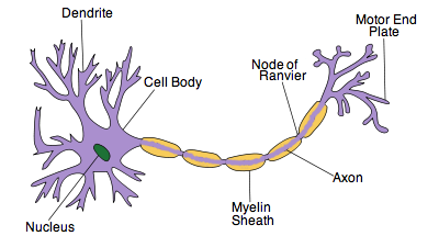 Neuron clipart labeled IB  Nerves 6 5