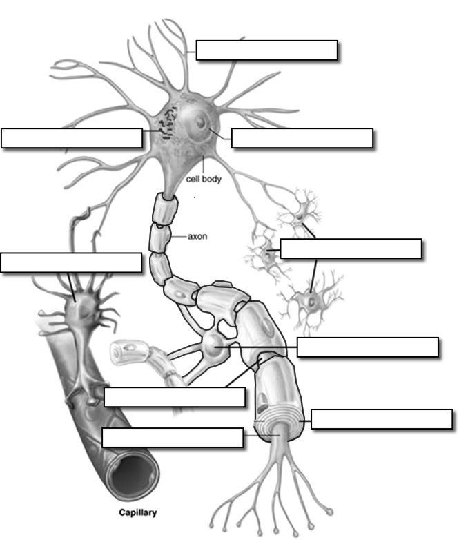 Neuron clipart labeled Best images Pinterest on about