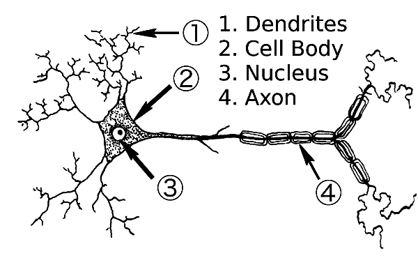 Neuron clipart labeled /medical/anatomy/nervous_system/neuron /neuron_label_parts parts  label