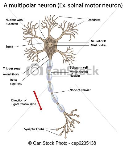 Neuron clipart labeled Vector of csp6235138 Clip eps10