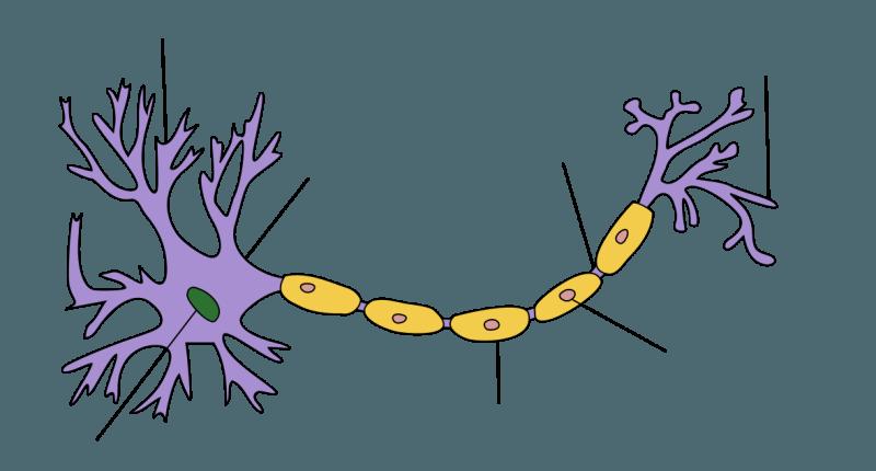 Neuron clipart motor neuron And Neuron and Lower Bone