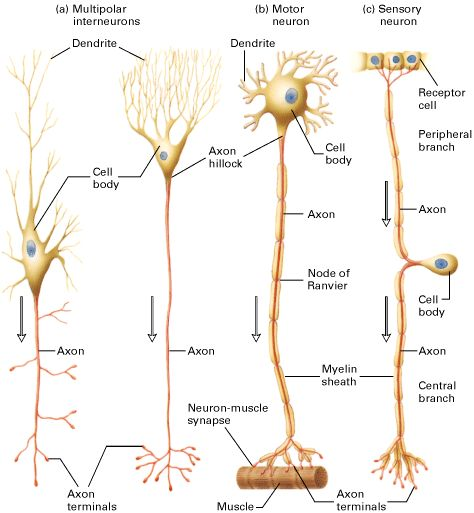 Neuron clipart neurology And best study on on