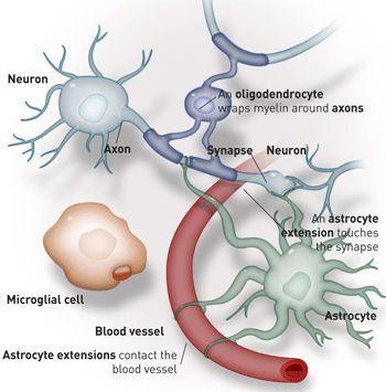 Neuron clipart neurology 281 Neuroscience images about brain