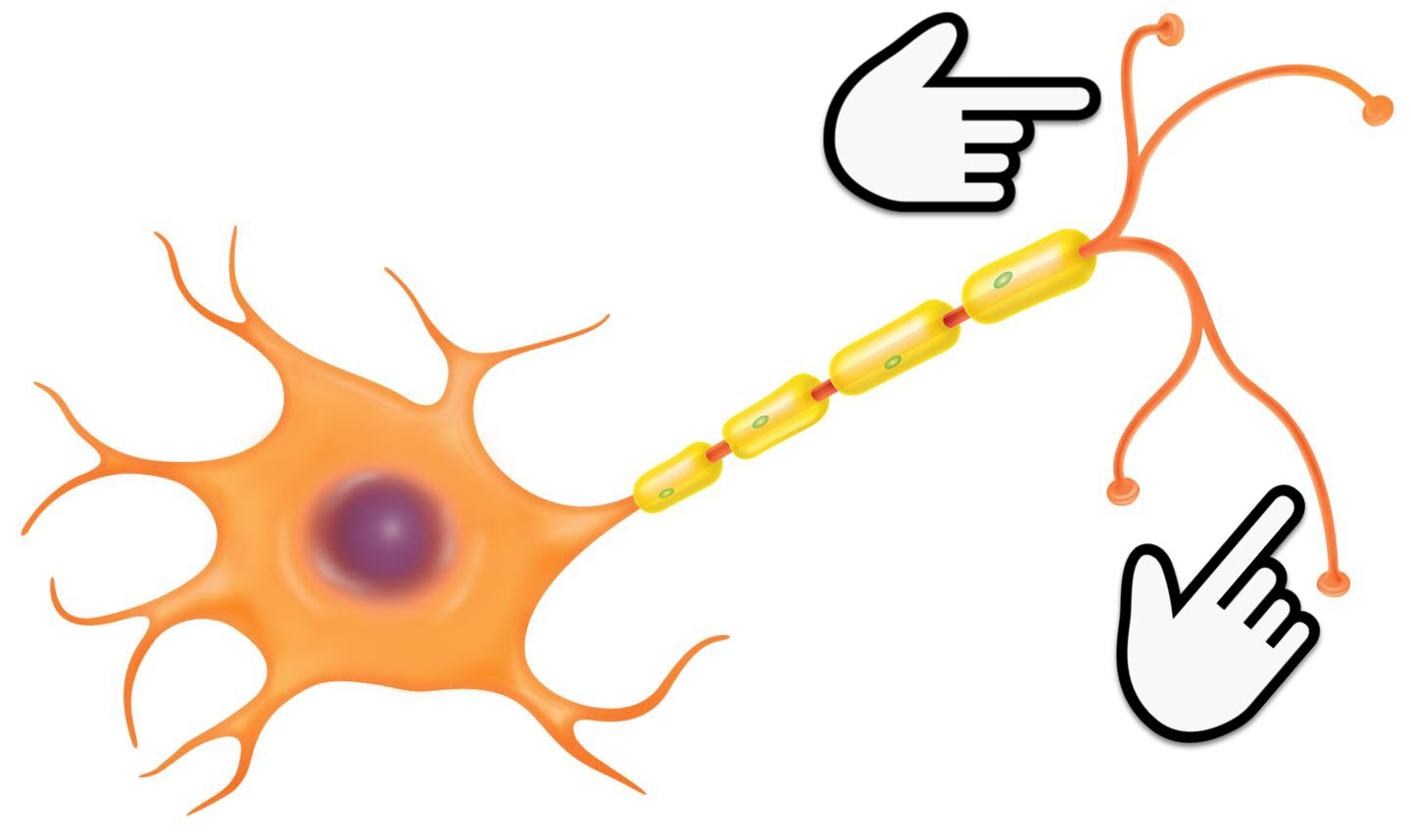Neuron clipart part Identify part Quizizz the Nervous