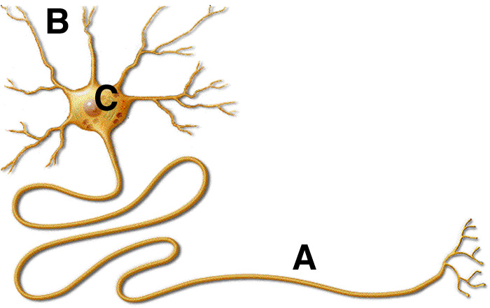 Neuron clipart part Neuron Diagram Zone Cliparts Cliparts