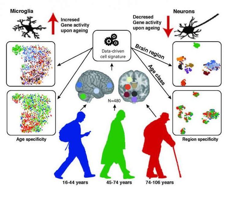 Neuron clipart psychology brain 10 Neurons 2017 Brain Brain