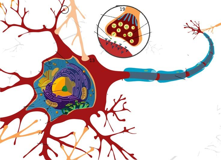 Neuron clipart psychology brain Best Pin images Brain on