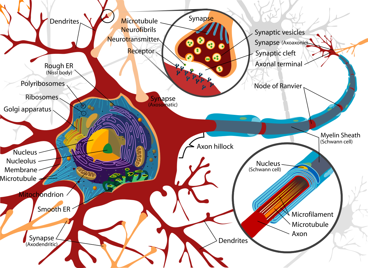 Neuron clipart simple Typical vertebrate motor Diagram Wikipedia