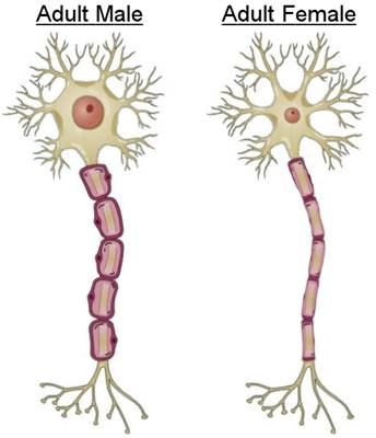 Neuron clipart simple Neuron testosterone Difference that it's