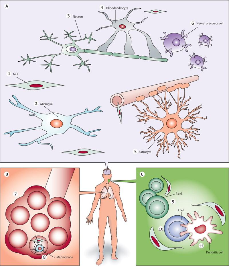Neuron clipart stem cell They Intravenously after neurons reach